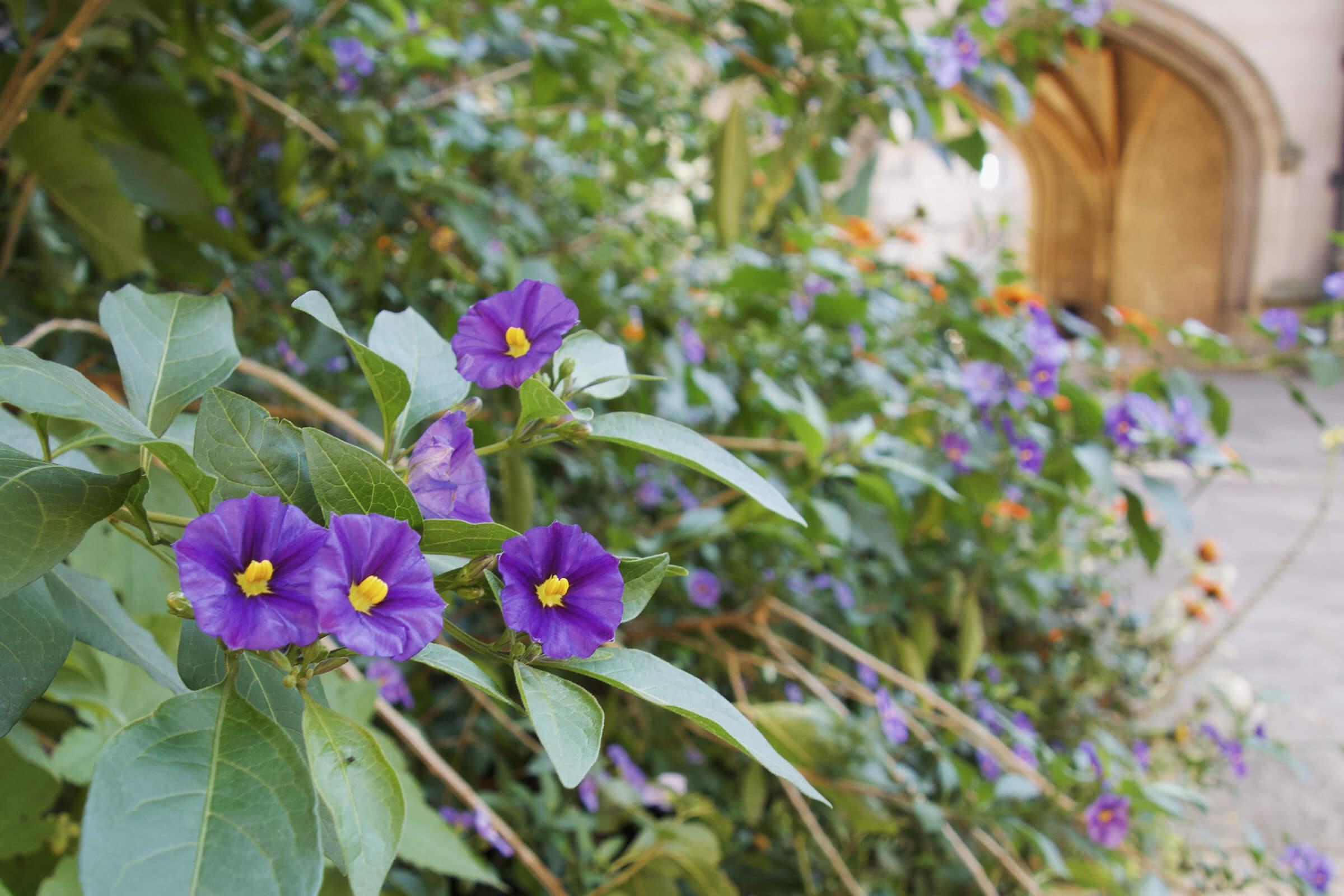 マートン学寮内の花